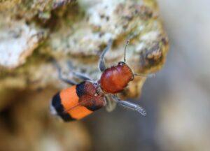 Orange banded clerid beetle